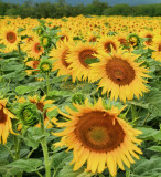 Sunflowers 75
