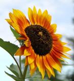 Sunflowers 76