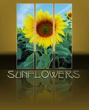 Sunflowers 77