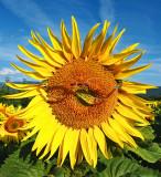 Sunflowers 78