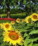 Sunflowers 79
