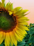 Sunflowers 80