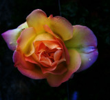 The rose which was in love with the light...