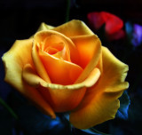 Night Club Rose...