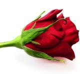 Iconic rose....