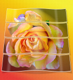 Cut rose....