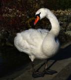 Swans 21