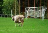 Soccer cow....
