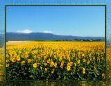 Sunflowers 14