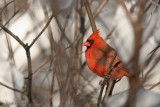 CARDINAL WATCHES FROM THE BRANCHES