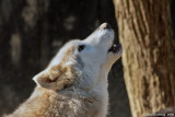 Speedwell Wolves - Wolf Sanctuary of PA - Lititz, PA