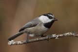 Chickadees, Nuthatches, Creepers and their Allies