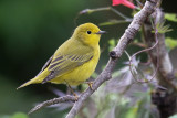 Wood - Warblers/Wrens