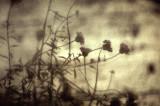 Mirrorflower