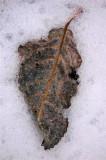 Iceleaf