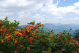 Flaming azaleas, Round Bald at Carvers Gap