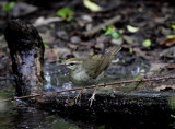 Swainsons Warbler