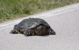 Common Snapping Turtle (USA)