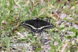 Black Swallowtail (USA)
