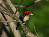 BRAZIL: Birds
