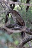 Pheasant-Coucal-IMG_3499-ER-Lamington-QLD-13-July-2010.jpg