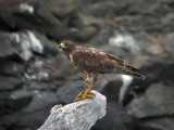Galapagos Hawk (juvenile)