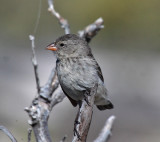 Small Ground-Finch