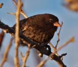 Sharp-beaked Ground-Finch