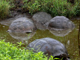 Santa-Cruz-Giant-Tortoise-Wallow-IMG_8860-Finca-Mariposa-Santa-Cruz-Galapagos-13-Nov-2010.jpg