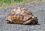Leopard Tortoise Stigmochelys pardalis (Kenya)