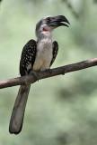 Jacksons Hornbill