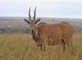 Eland (Taurotragus oryx)