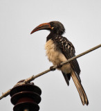 Hemprich's Hornbill