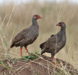 KENYA: Birds