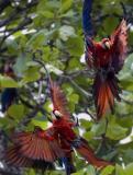 macaw pbase.jpg