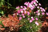 Dianthus in Full Bloom