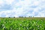 Summer Sunday - Cows on the Horizon