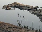 graminées au bord de l'eau