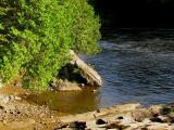 les cèdres du bord de l'eau