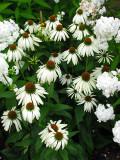chrysanthèmes à l'ombre