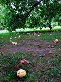 Pommes tombées