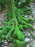 Mousse verte sur racines