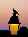 Le pigeon sentinelle
