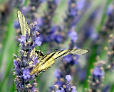 papillon Flambé en Ardèche