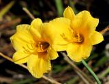hémerocales jaunes
