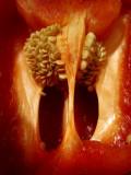 la glotte du piment rouge / Deep throat