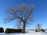 L'arbre majestueux de St-Roch des Aulnaies