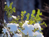 épinette neigeuse