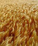 champs de céréales