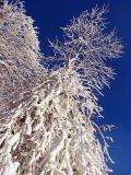 arbres blancs